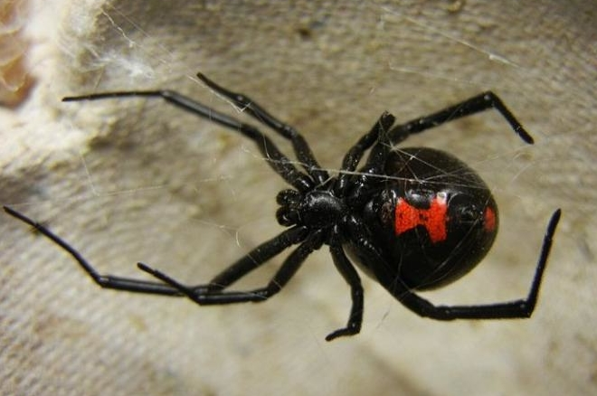 248629-black-widow